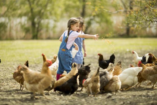 Petites filles lançant du grain pour nourrir les poules.